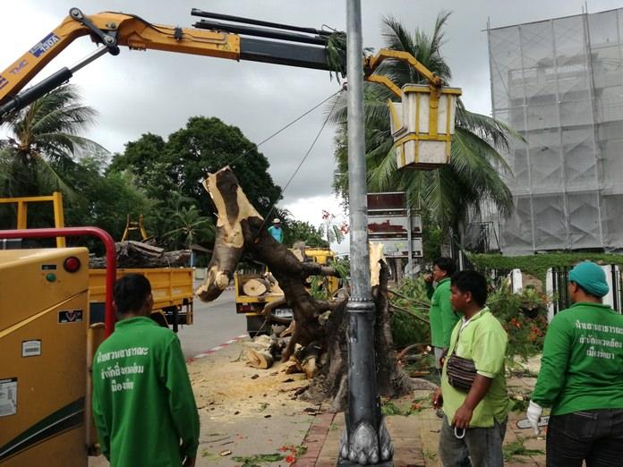 นักสิ่งแวดล้อมเมืองพัทยาดำเนินการรณรงค์ตัดต้นไม้สูงใหญ่ ป้องกันอันตรายการหักโค่นช่วงฤดูฝน