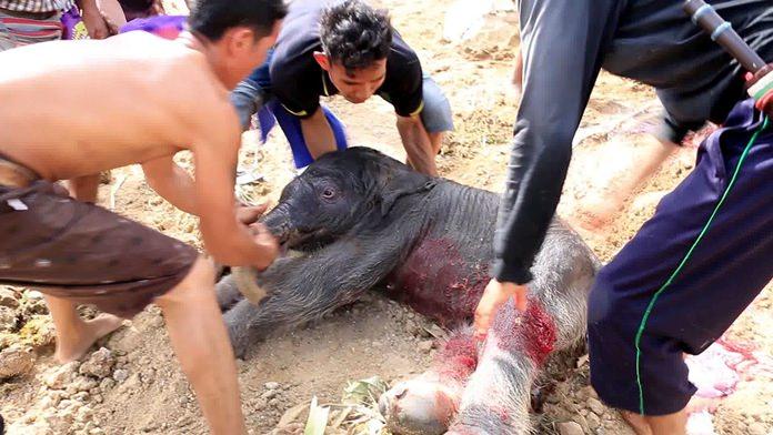 ภาพนาทีแม่ช้างพังน้องเมย์ สวนนงนุชพัทยา เบ่งกำเนิดลูกช้างลืมตาดูโลก