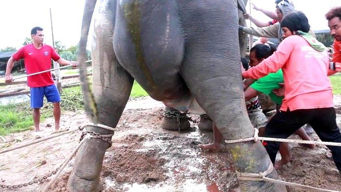 ลุ้นระทึก..วินาทีกำเนิดคชสาร ปางช้างสวนนงนุชพัทยา