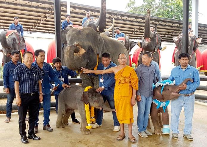 ปีทองของสวนนงนุชพัทยา ช้างตกลูกมากถึง 5 เชือก รอเบ่งท้องอีก 7 เชือก