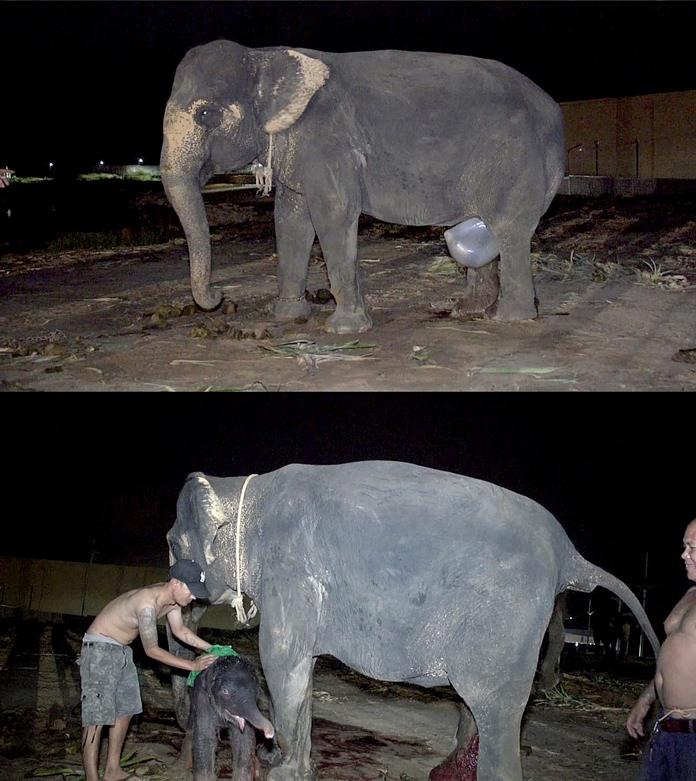 พ่อพันธุ์ช้างสุดคึก!! สวนนงนุชพัทยา เตรียมทำสถิติโลก ผลิตลูกช้างเชือกที่ 11 ในรอบ 9 เดือน