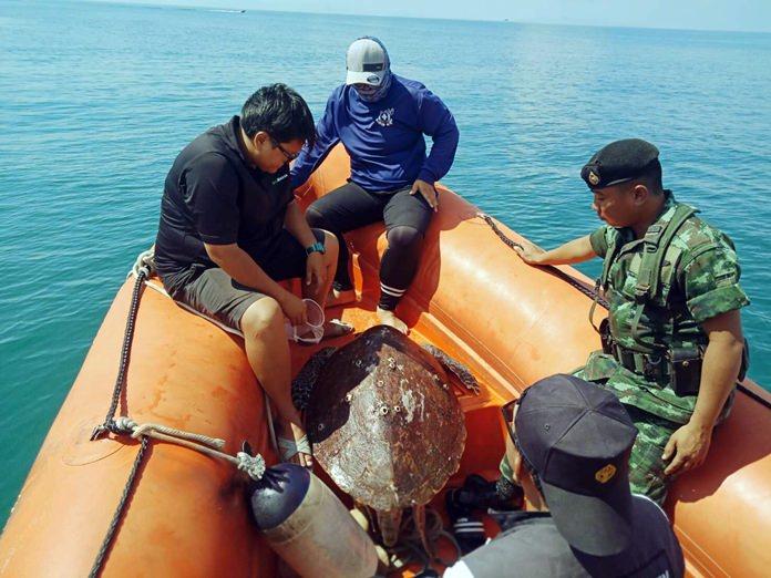 เจ้าหน้าที่เร่งช่วยเหลือจ้าเต่ายักษ์ โผล่ริมหาดบ้านเกาะล้าน เมืองพัทยา นำไปปล่อยกลับคืนสู่ทะเล