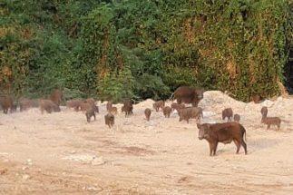 ชาวบ้านเขาตาโล ร้องเรียนหมูป่าฝูงใหญ่คุ้ยขยะ ไล่กัดชาวบ้าน ได้รับความเดือดร้อน