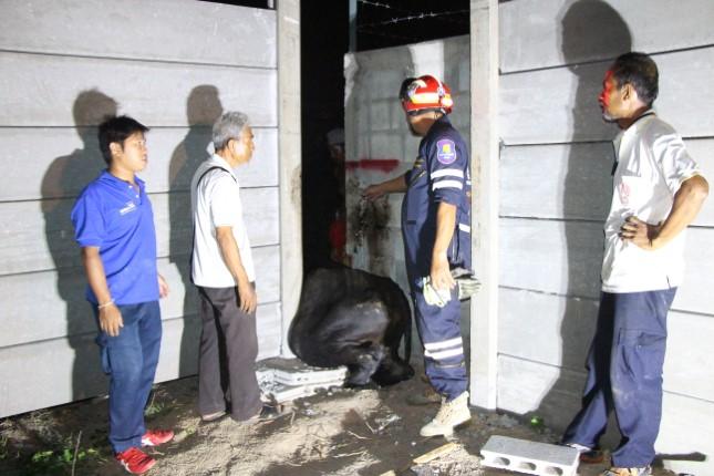 กู้ภัยรุดช่วยเหลือวัวติดอยู่ซอกกำแพง ในที่ดินกำลังก่อสร้าง ซอยพบสุข