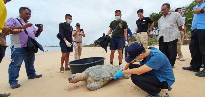 อ่าวสัตหีบวิกฤต พบเต่าทะเลกินขยะทะเลทยอยตายตัวที่ 9 ฮือฮาพบเลขเด็ดบนหลังเต่า