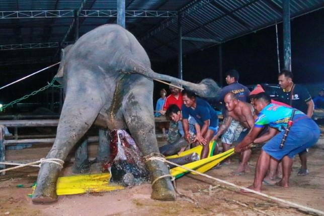 นาทีตื่นตา! แม่ช้างเบ่งคลอดลูกตัวที่ 90 ของปางช้างสวนนุชพัทยา