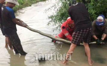ชาวบ้านตกใจ! งูเหลือมยักษ์ยาวเกือบ 4 เมตรโผล่ว่ายน้ำกลางถนน หลังฝนตกหนัก